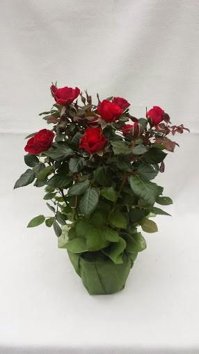 Ruusu Haudalle